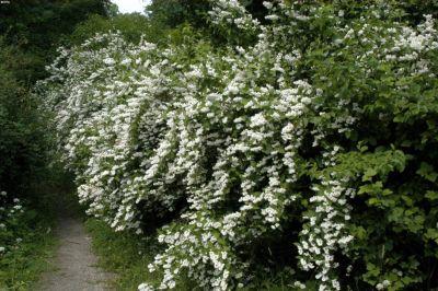 Maiblumenstrauch, weiß blühend, 1 Pflanze