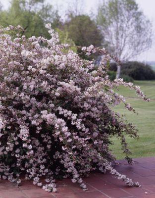 Maiblumenstrauch, rosa blühend, 2 Pflanzen