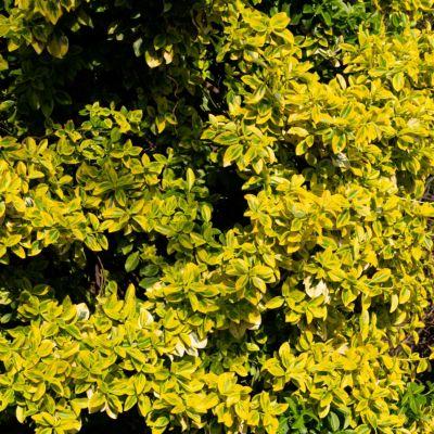 Dominik Gartenparadies Buntlaubiges Pfaffenhütchen, 5 Pflanzen