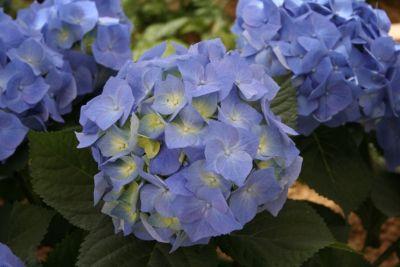Dominik Gartenparadies Gartenhortensie, blau 1 ...