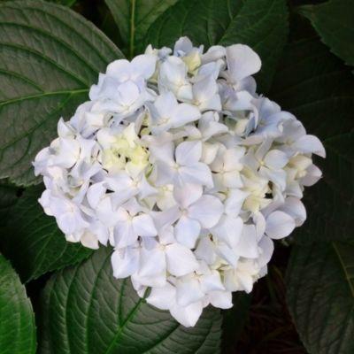 Dominik Gartenparadies Garten-Hortensie, weiß, ...