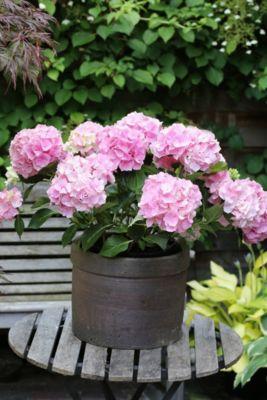 Gartenhortensie, rosa, 1 Stück