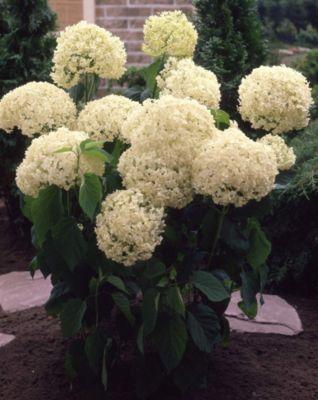 Dominik Gartenparadies Ball-Hortensie Annabelle®, weiß blühend, 3 Sträucher
