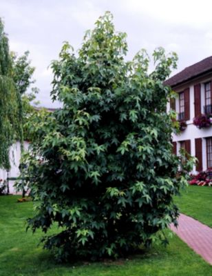 Dominik Gartenparadies Amberbaum, 1 Stück