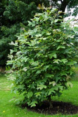 Dominik Gartenparadies Amerikanischer Tulpenbaum, 1 Stück