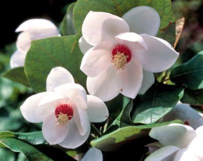 ende juni meine magnolie bl ht noch immer garten. Black Bedroom Furniture Sets. Home Design Ideas