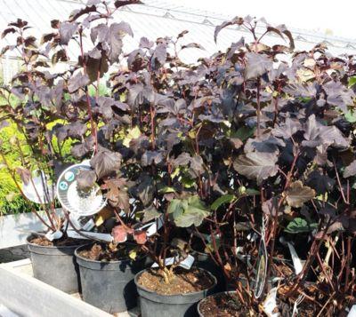 Dominik Gartenparadies Blasenspiere Physocarpus Diabolo, 1 Strauch im 3 Liter Topf