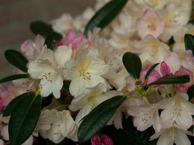 Dominik Gartenparadies Rhododendron, 2 Liter, weiß/cremeweiß, 3 Pflanzen