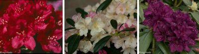 Dominik Gartenparadies 3er Set Rhododendron, je 1 Pflanze in den Farben rot/rosa, violett/blau und creme/weiß blühend