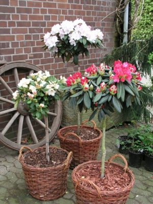 Dominik Gartenparadies Alpenrose - Rhododendron yakushimanum - Stämmchen Biko ®, weiß blühend (neue Sorte, Einführung erst in 2016), im 3 l Container mit mehrjähriger Krone,