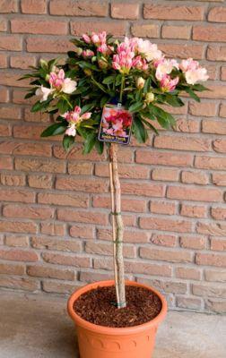 Dominik Gartenparadies Alpenrose - Rhododendron yakushimanum - Stämmchen Golden Torch (überaus reichblühend in gelb),  im 3 l Container mit mehrjähriger Krone, Stammhöhe 40-