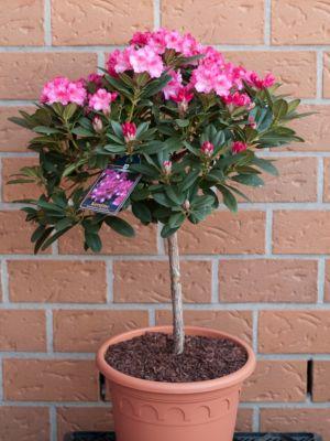 Dominik Gartenparadies Alpenrose - Rhododendron yakushimanum - Stämmchen Kalinka (überaus reichblühend in rot), im 3 l Container mit mehrjähriger Krone, Stammhöhe 40-60 cm,