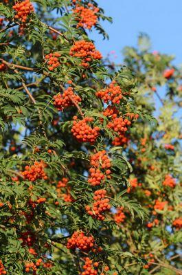 Eberesche, Vogelbeere, trägt rote Beeren, 1 Pflanze
