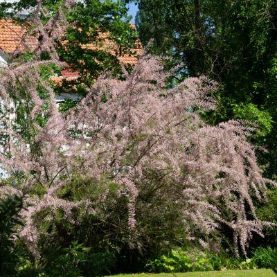 tamariske-lila-bluhend-2-pflanzen
