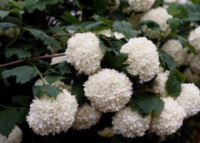 gefullter-schneeball-2-pflanzen