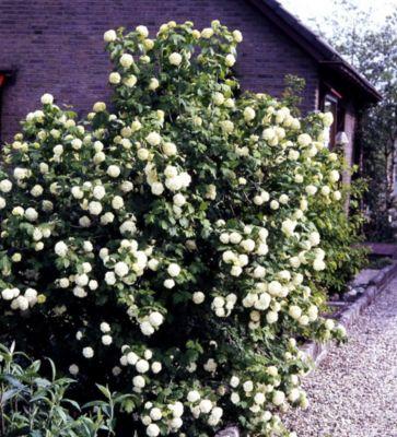 runzelbl ttriger schneeball viburnum rhytidophyllum vermehren garten. Black Bedroom Furniture Sets. Home Design Ideas