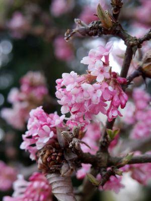 1 Strauch Duft-Winterschneeball, rosa blühend