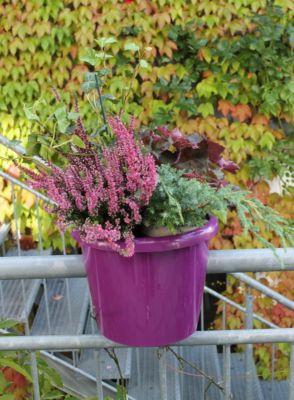 Geländertopf brombeerfarben mit Wasserspeicher plus 4 Grünpflanzen:1x Heide Garden Girls® ´´Rosita´´ rosa blühend, 1x St