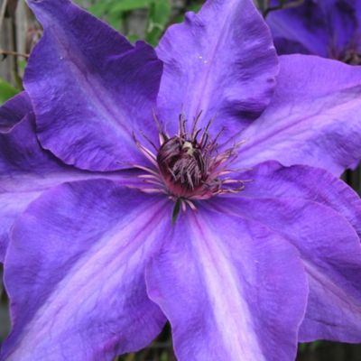 clematis-the-president-1-stuck