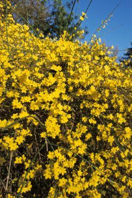 winter-jasmin-2-pflanzen