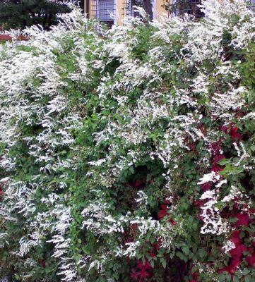 schlingknoterich-3-pflanzen