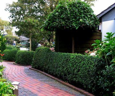 Liguster-Hecke, 14 Pflanzen mit 3-5 Trieben, 20 - 40 cm hoch, im 1 Liter Topf, reicht für ca. 4 Meter Hecke