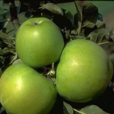 Dominik Gartenparadies Apfel Granny Smith Compact, Busch, 1 Pflanze