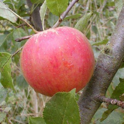 Dominik Gartenparadies Apfel Cox Orange, Busch, 1 Pflanze