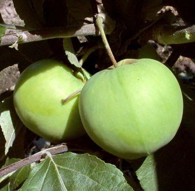 Dominik Gartenparadies Apfel Klarapfel, Busch, 1 Stück