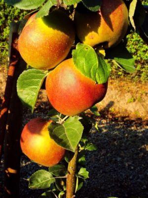 Dominik Gartenparadies Apfel Roter Boskoop, Busch, 1 Stück
