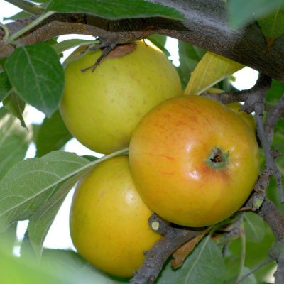 Dominik Gartenparadies Apfel Goldparmäne, Busch, 1 Stück
