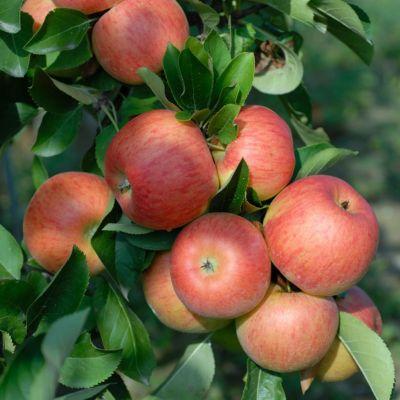 Dominik Gartenparadies Apfel Topaz®, Busch, 1 Pflanze