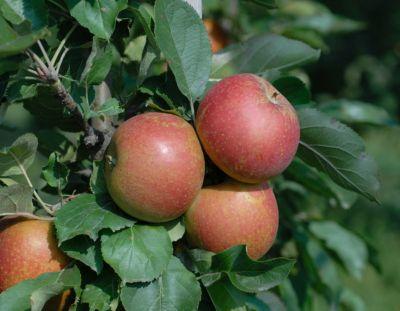 Dominik Gartenparadies Apfel Ecolette, selbstfruchtend, robust, neue Züchtung, 1 Busch