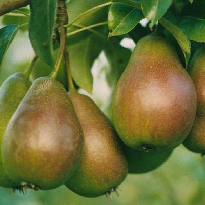 Dominik Gartenparadies Birne Gute Luise, Busch, 1 Pflanze
