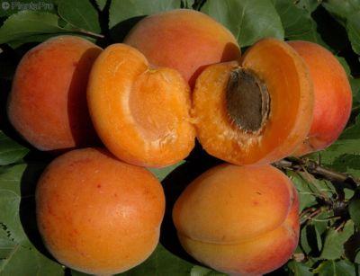 Dominik Gartenparadies Aprikose ´Early Orange´ , Busch, 1 Pflanze