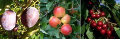 Dominik Gartenparadies 3er Set selbstfruchtender Obstbaum-Sorten, bestehend aus Pflaume Hauszwetsche, Apfel Ecolette, Süßkirsche Viktoria, je 1 Busch