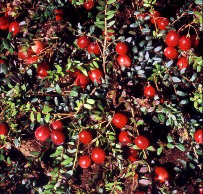 Dominik Gartenparadies Cranberry, 2x3 Stück