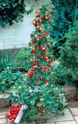 Kraege Erdbeer-Bäumchen Ostara, 5 Stück