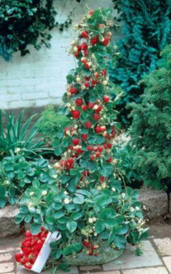 Kraege Erdbeer-Bäumchen Aromastar, 10 Stück
