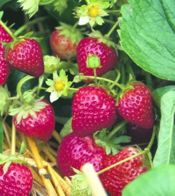 Kraege Erdbeere Ostara, 10 Stück, Torftopf