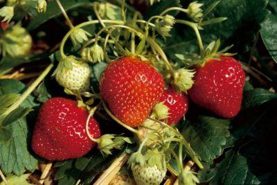 Kraege Erdbeere Mara des Bois®, 10 Stück, im Torftopf