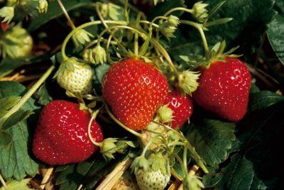 Kraege Erdbeere Mara des Bois, 2*10 Stück