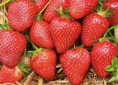 Kraege Erdbeere Malwina, 10 Pflanzen NEU