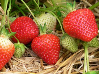 Kraege Erdbeere Asia®, 10 Pflanzen NEU