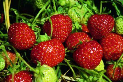 Kraege Erdbeere Senga Sengana 10 Stck.