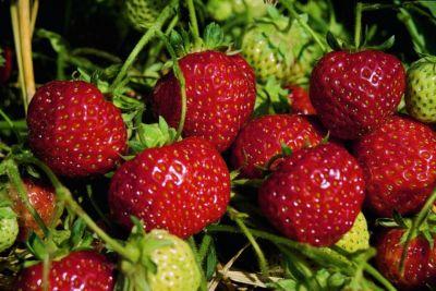 Kraege Erdbeere Senga Sengana®, im Torftopf 40Stück