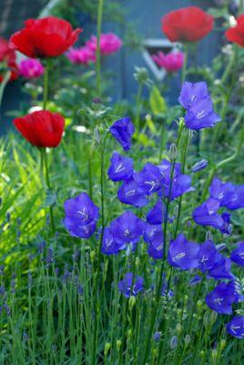 staude-hohe-glockenblume-blau-5-stuck