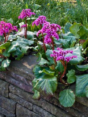 Bergenien, rot, 6 Pflanzen