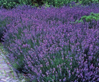 Staude Lavendel, 12 Stück, 7 cm Topf