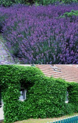 Dominik Gartenparadies 2 Stauden Lavendel + 2 Stauden Efeu
